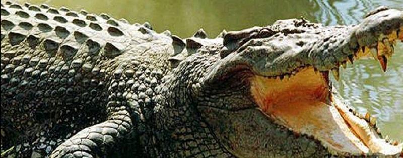 Indonésie : une scientifique tuée par un crocodile qu'elle essayait de nourrir